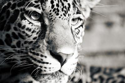 Obraz Jaguar