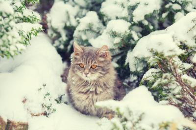 Fototapeta Siberian cat sitting in the forest covered with snow