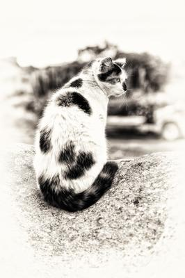 Naklejka A sitting hybrid cat
