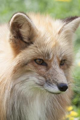 Portrait of a young european red fox