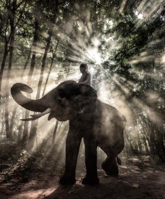 Fototapeta Mahout at Surin Province Thailand elephant