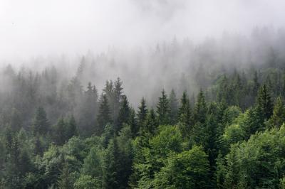 Fototapeta Evergreen Forest Overview