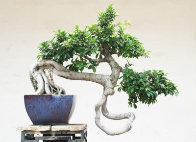 Fototapeta The chinese bonsai tree in ceramic pot