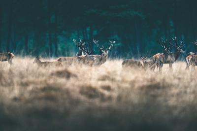 Fototapeta Herd of red deer in tall yellow grass