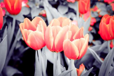 Fototapeta  Beautiful bouquet of tulips with filter effect retro vintage style