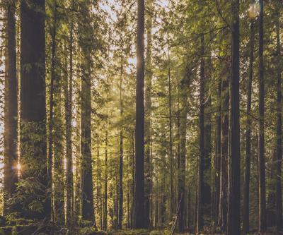 Fototapeta Redwood Forest Sun Setting