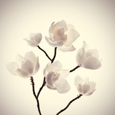 Obraz Pink spring magnolia flowers branch