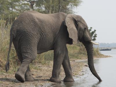 Plakat African elephant