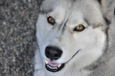 Obraz Siberian husky