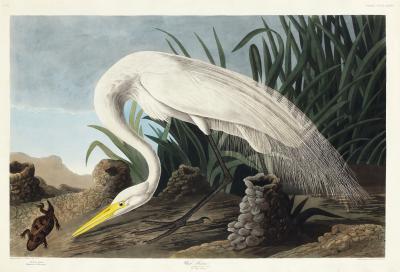 Fototapeta Czapla biała Casmerodius albus