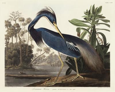 Fototapeta Czapla trójbarwna Egretta tricolor