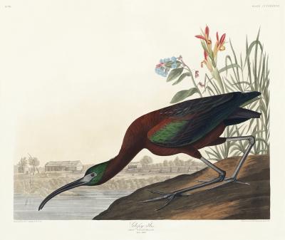 Fototapeta Ibis kasztanowaty Plegadis falcinellus