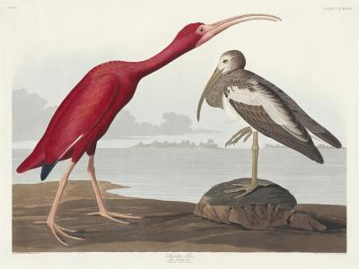 Fototapeta Ibis szkarłatny Eudocimus ruber
