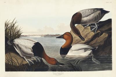 Fototapeta Thalassornis leuconotus