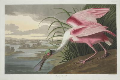 Warzęcha różowa platalea ajaja
