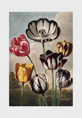 Plakat Kolorowe tulipany