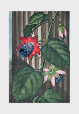 Plakat Passiflora alata
