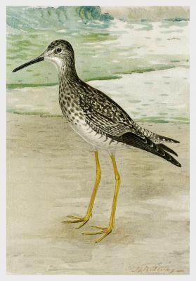 Plakat Brodziec piegowaty Totanus Melanoleucus