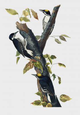 Plakat Dzięcioł trójpalczasty Picoides tridactylus