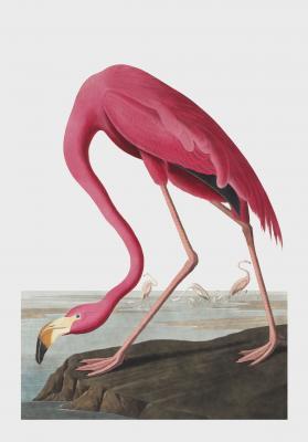 Plakat Flaming karmazynowy Phoenicopterus ruber