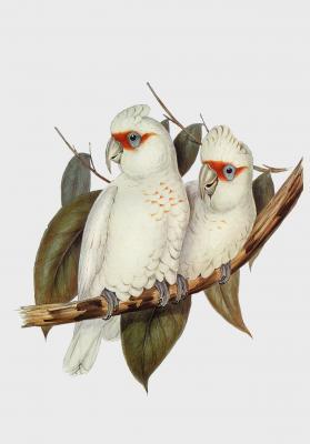Plakat Kakadu cienkodzioba Licmetis nasicus