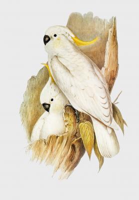 Plakat Kakadu żółtoczuba Cacatua galerita
