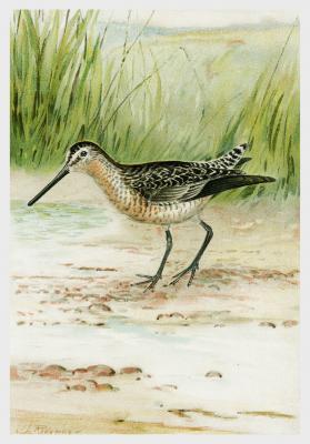 Plakat Limnodromini Macrorhamphus Griseus