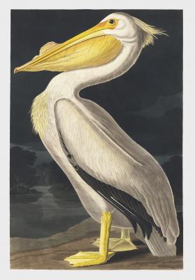 Plakat Pelikan dzioborogi Pelecanus erythrorhyncho