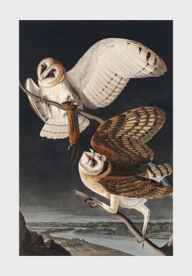 Plakat Płomykówka zwyczajna Tyto alba
