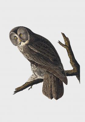 Plakat Puszczyk wielkoplamy Cinereous Owl
