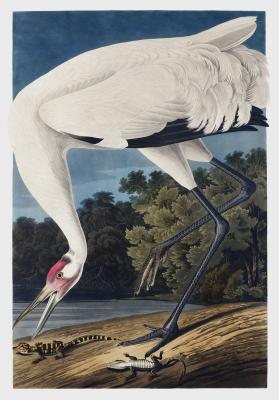 Plakat Żuraw krzykliwy Grus americana
