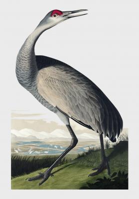 Plakat Żuraw krzykliwy II Grus americana