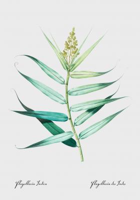 Plakat Flagellaria indica