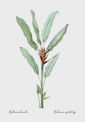 Plakat Heliconia papuzia