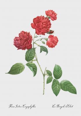 Plakat Róża bengalska