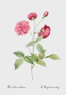 Plakat Róża Chińska