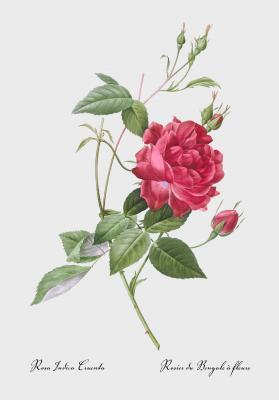 Plakat Róża czerwona