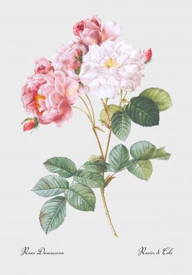 Plakat Róża damaceńska