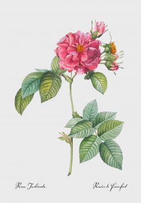Plakat Róża frankfurcka