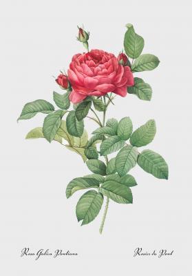 Plakat Róża galica-pontiana