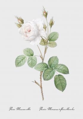 Plakat Róża mchowa