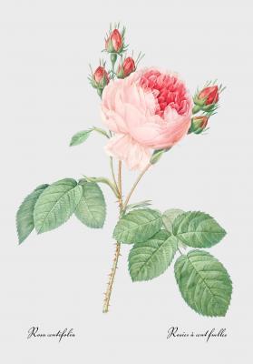 Plakat Róża stulistna