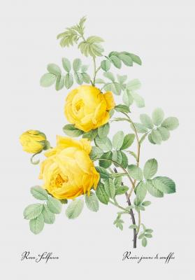 Plakat Róża żółta