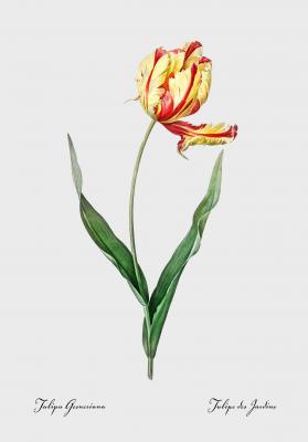 Plakat Tulipan ogrodowy