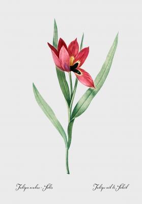 Plakat Tulipan