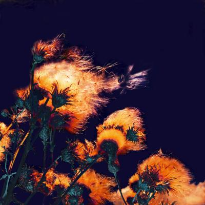Obraz Silhouettes of bright fuzzy dry flowers and flying seeds on dark background