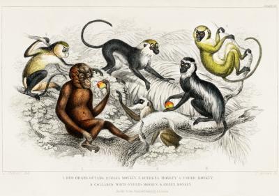 Plakat Gatunki małp