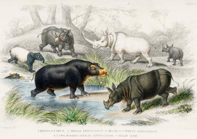 Plakat Gatunki nosorożców