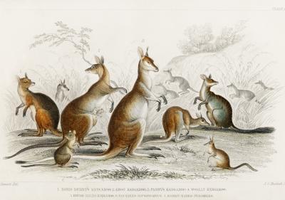 Plakat Gromada kangurów