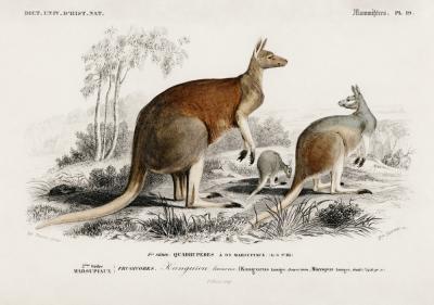 Plakat Kangury rude